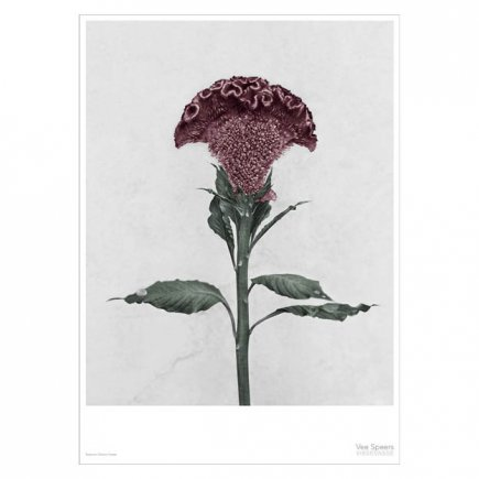 Botanica Celosia Christata Vee Speers poster 50x70 cm van VisseVasse byJensen