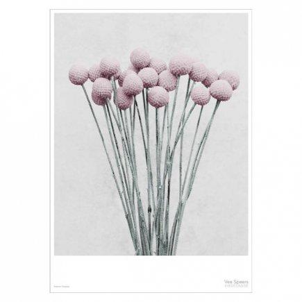 Botanica Craspedia Vee Speers poster 50x70 cm van VisseVasse byJensen